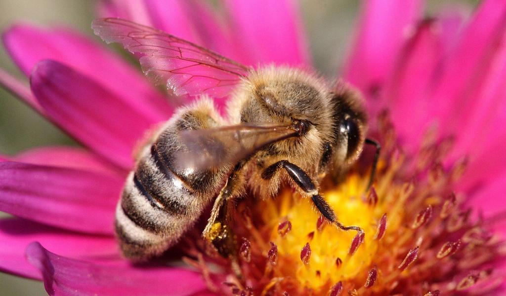 Картинки пчелки на цветах 1