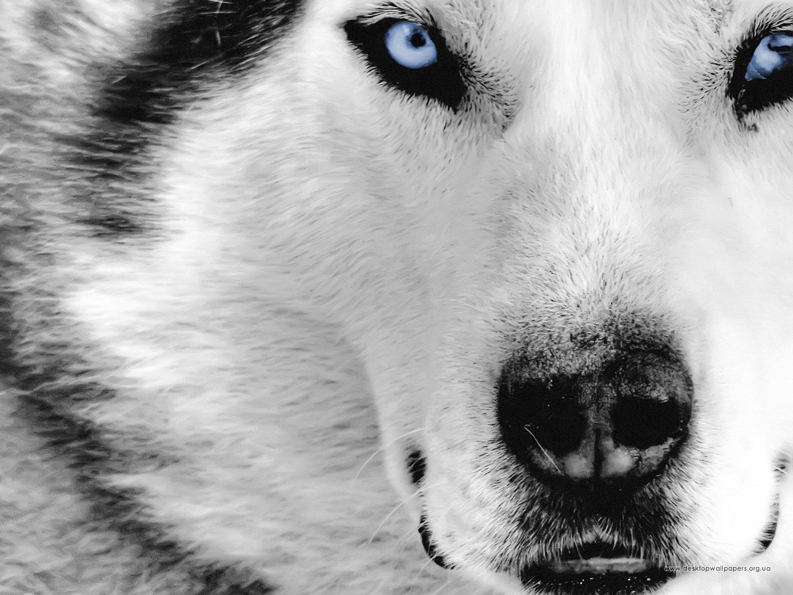 Шпалери тварини вовк