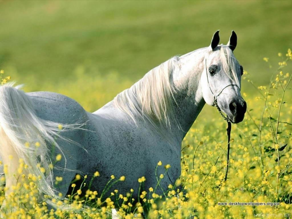 Шпалери / тварини / білий кінь