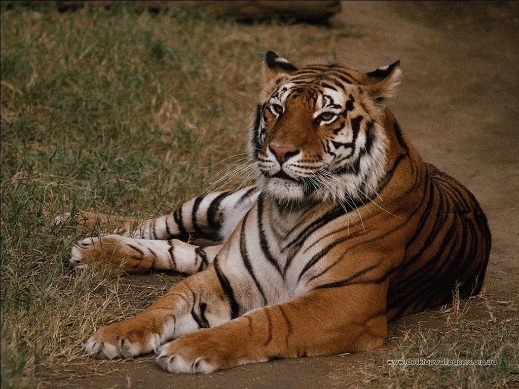 Шпалери тварини відпочиваючий тигр