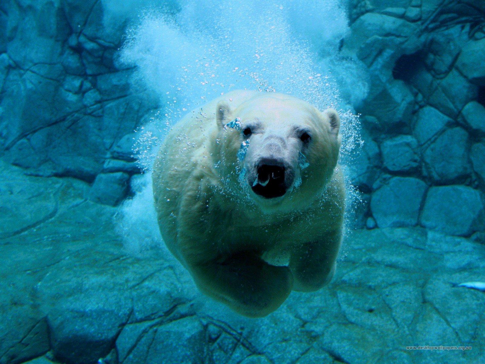 Шпалери тварини плаваючий ведмідь