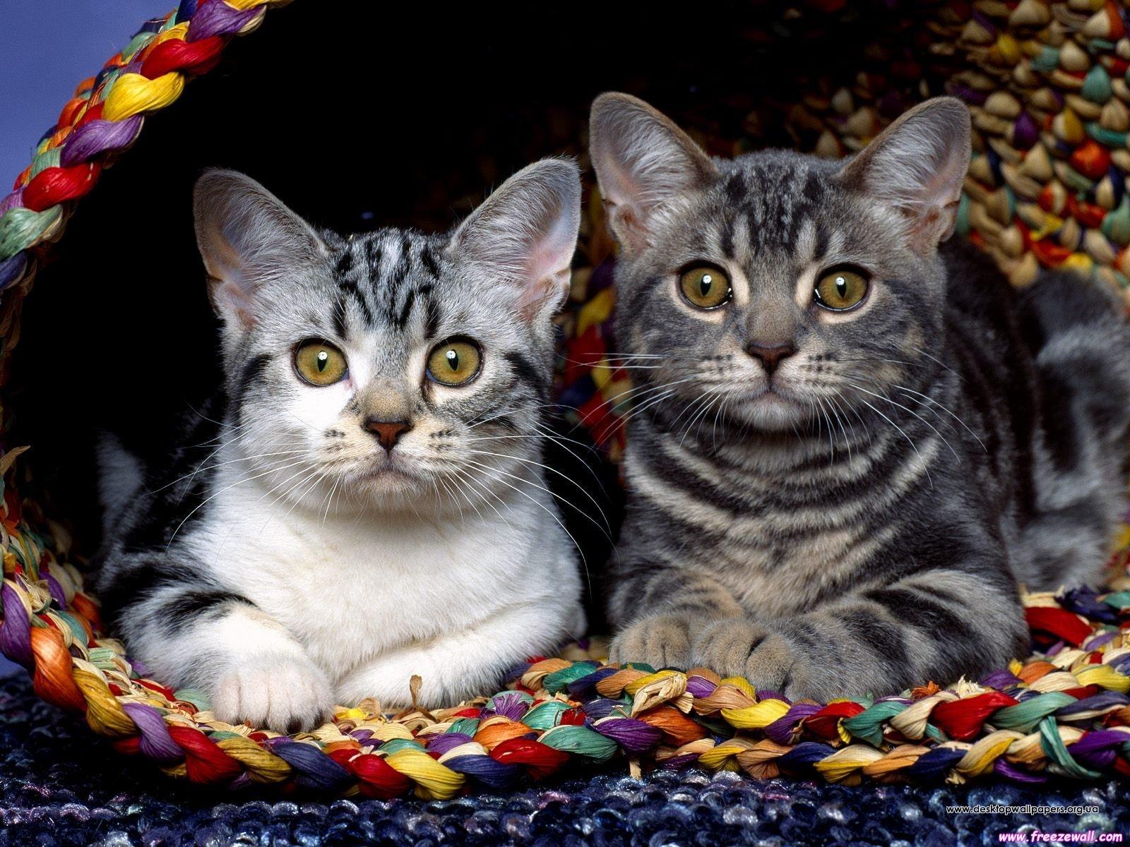 Шпалери коти переглянути зображення
