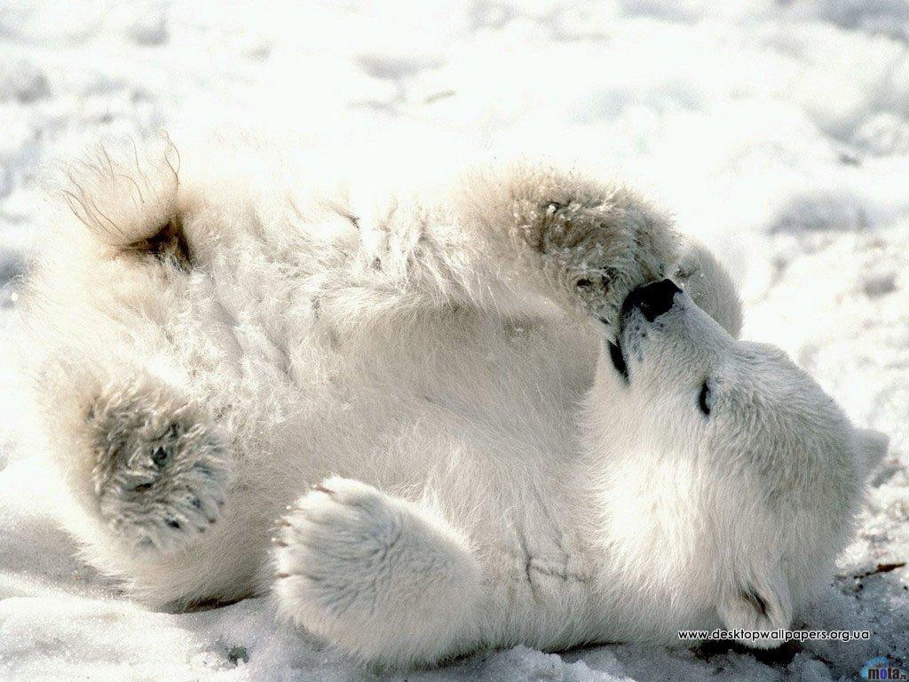 Шпалери / тварини / білі ведмеді