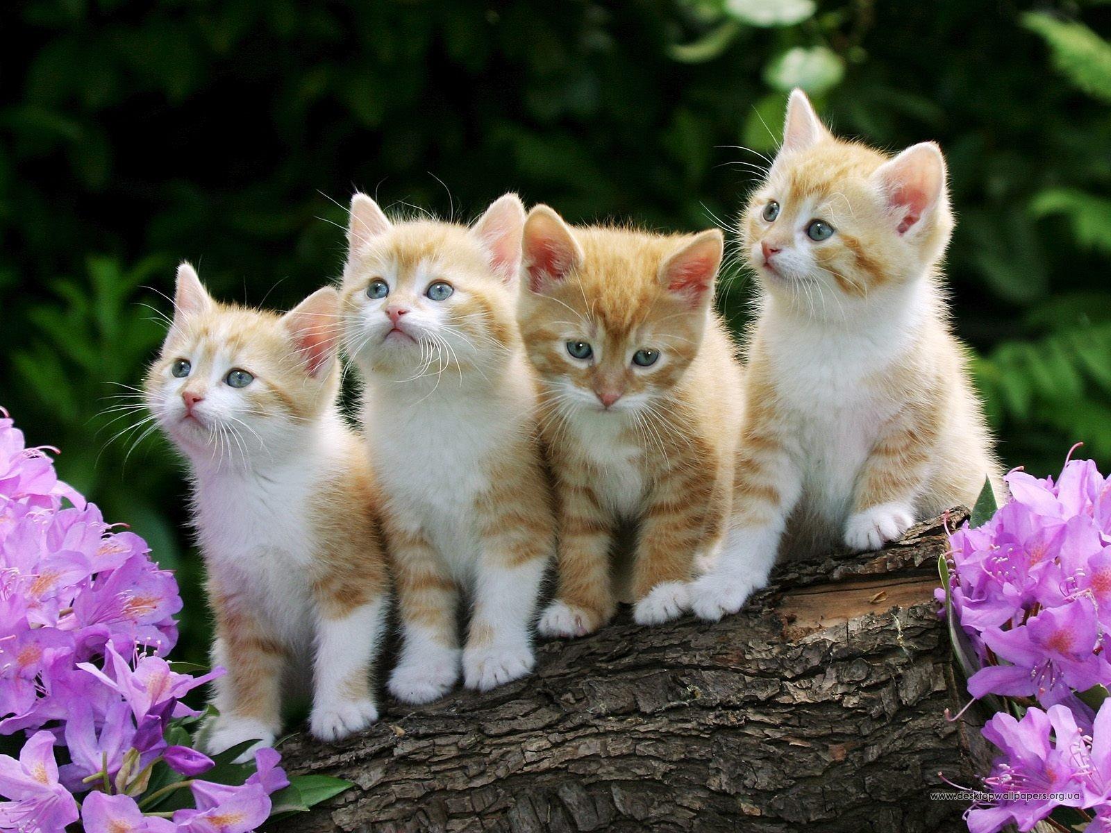 Шпалери тварини кошенята