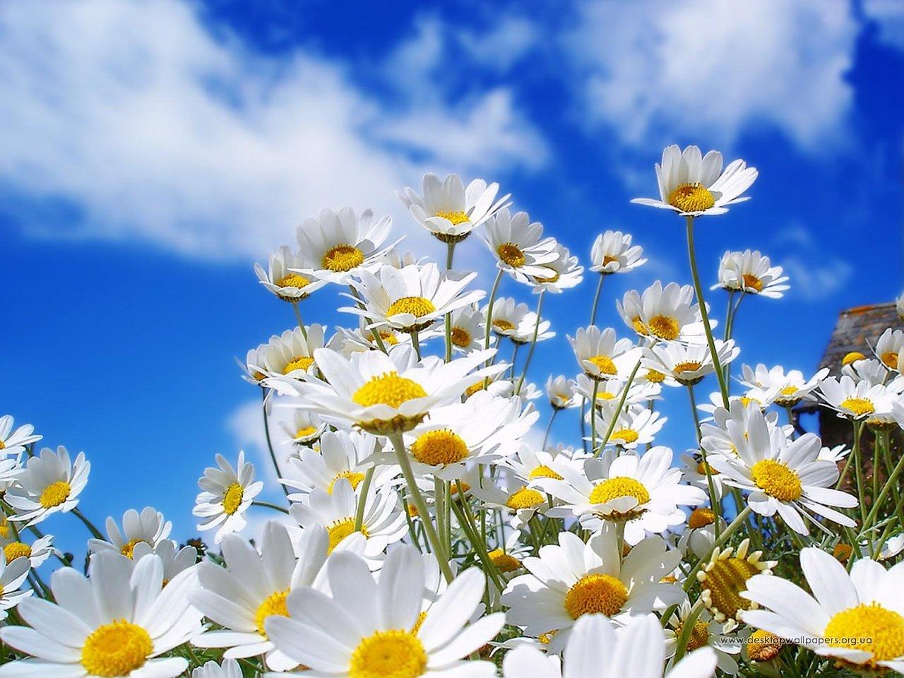 Шпалери квіти spring daisy