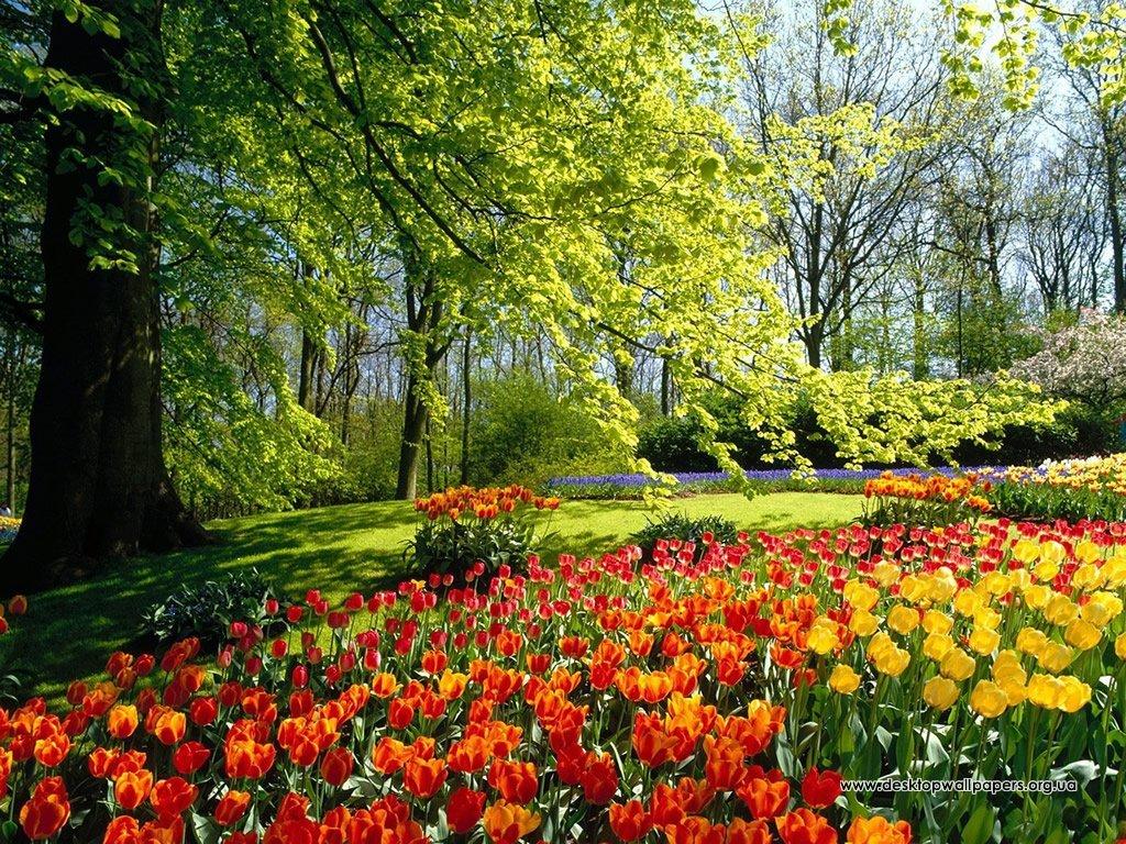 Шпалери сад з тюльпанів переглянути