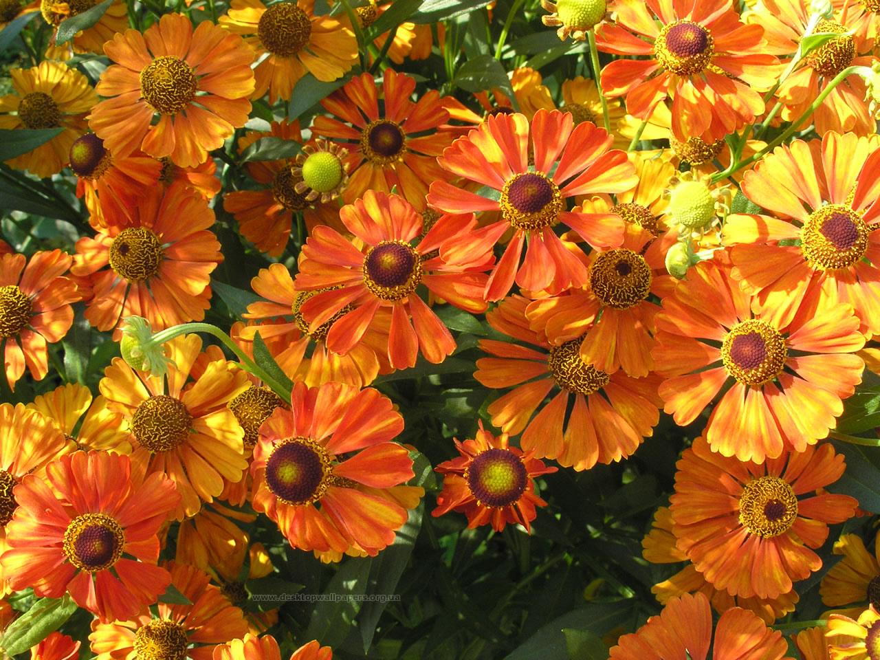 Оранжевые цветы название и фото