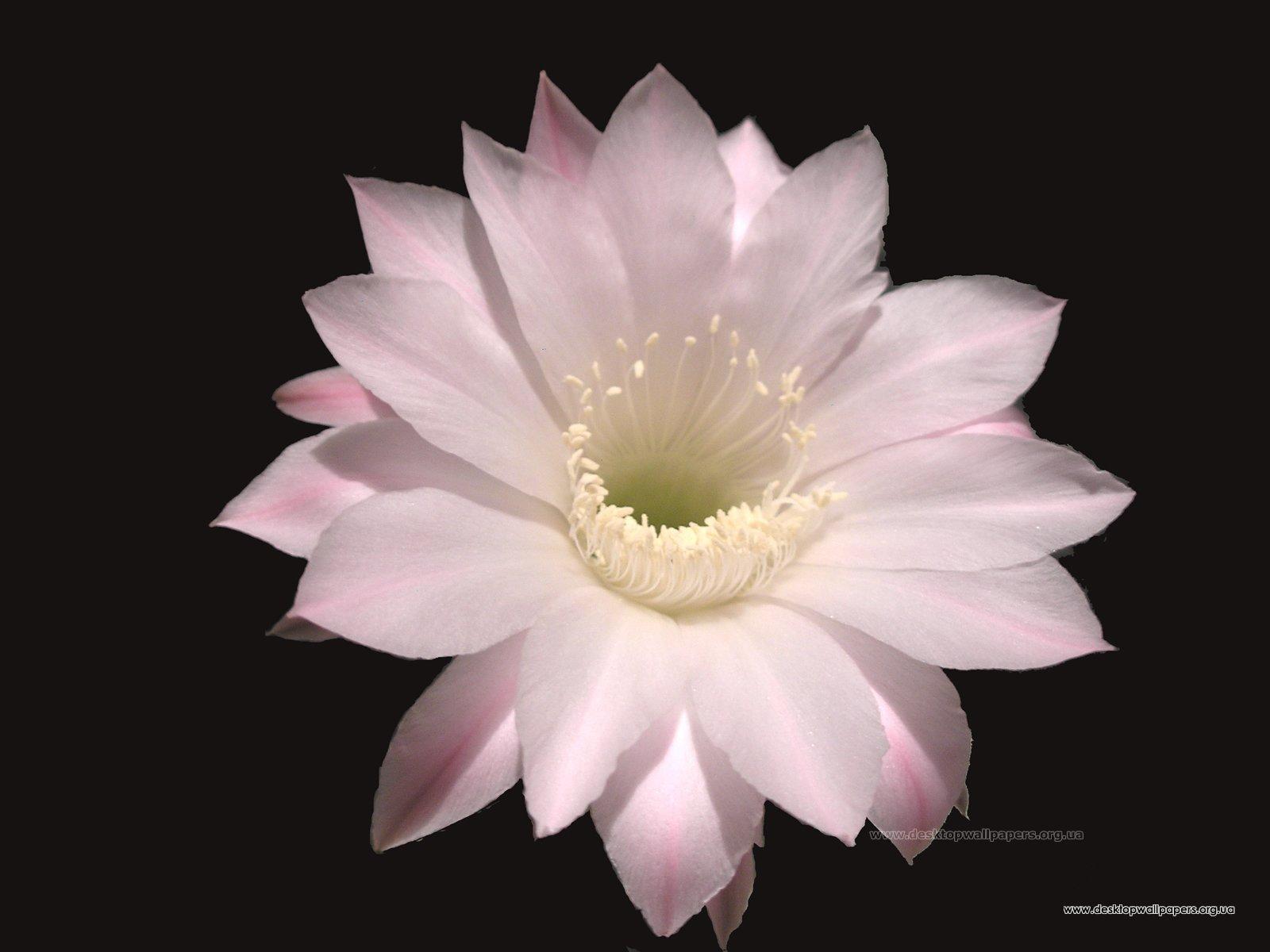 Фото цветы кактусы, бесплатные фото ...: pictures11.ru/foto-cvety-kaktusy.html