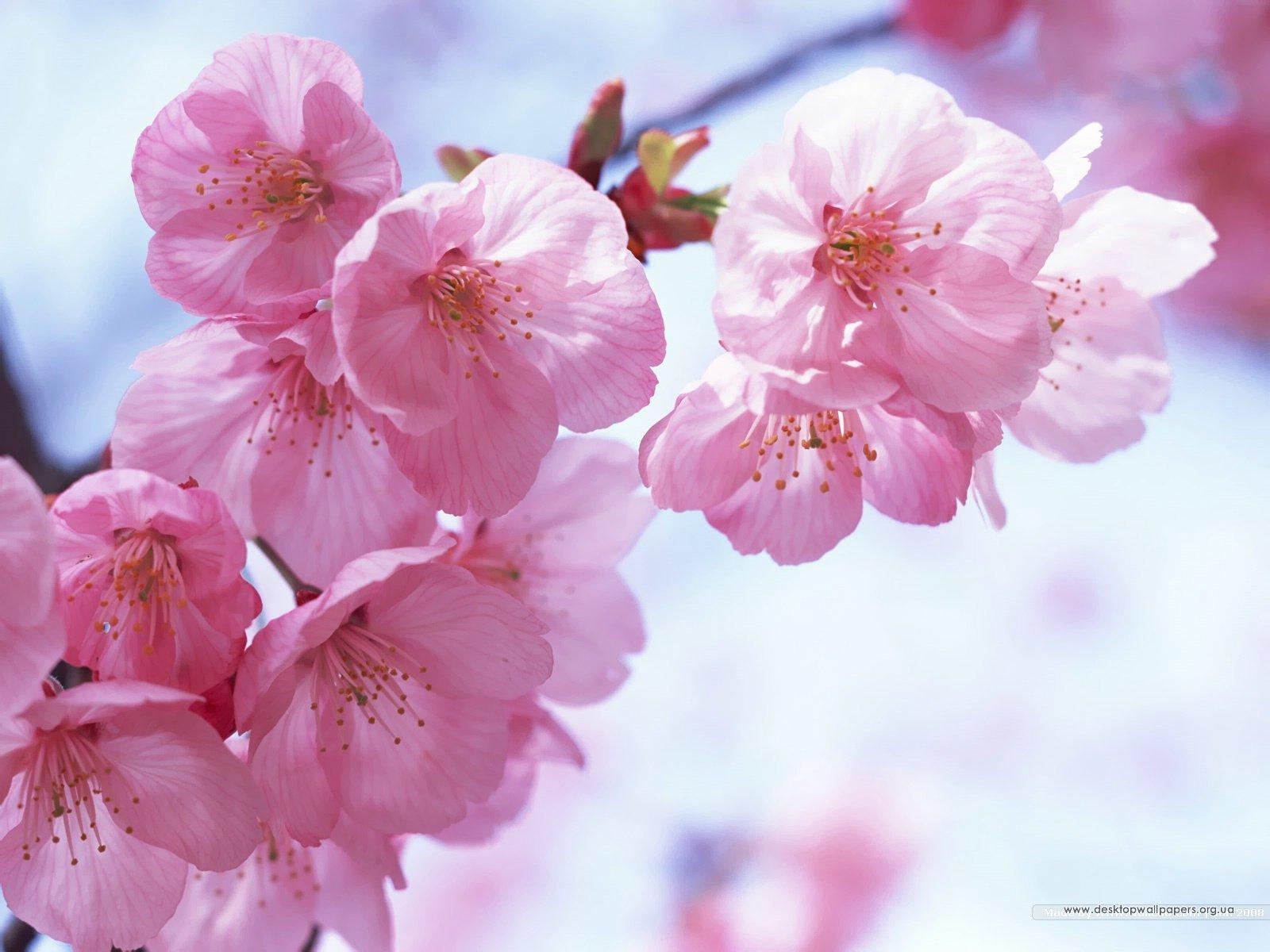 桜の花言葉は優れた美人、純潔、精神美、淡泊