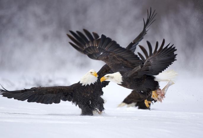 Обои орлы птицы зима снег разборки