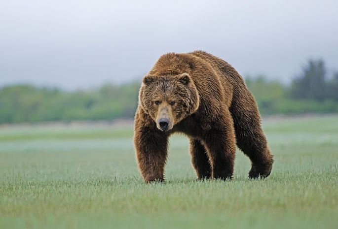 злой медведь рисунок