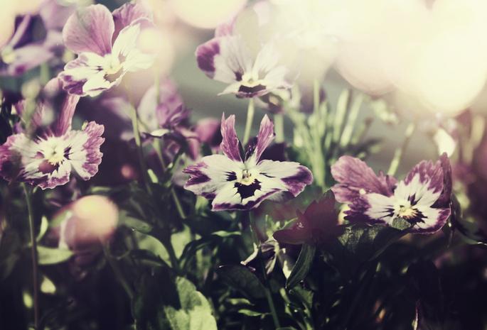 Анютины глазки фиолетовые цветы