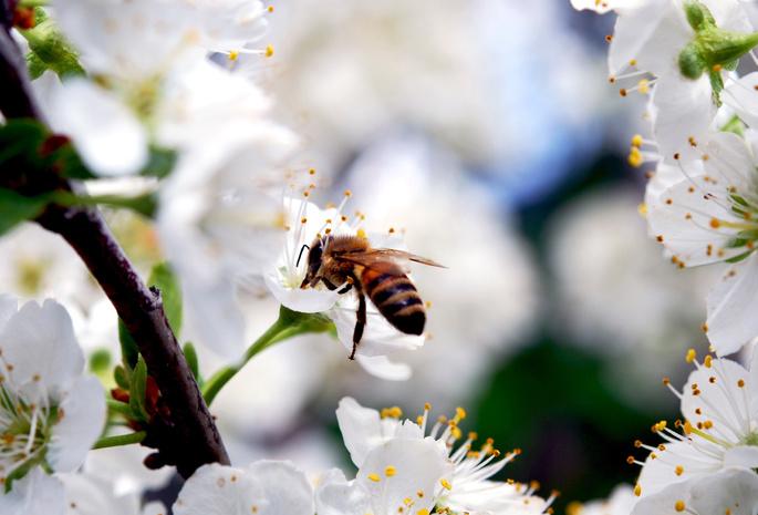 Вишня насекомое ветка весна цветы