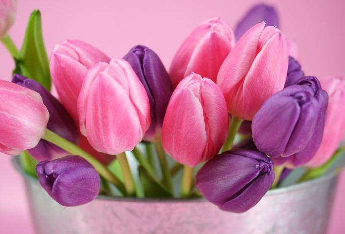 Тюльпаны фиолетовый розовый цветы