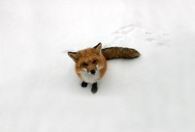 Обои лиса снег рыжая лисица взгляд