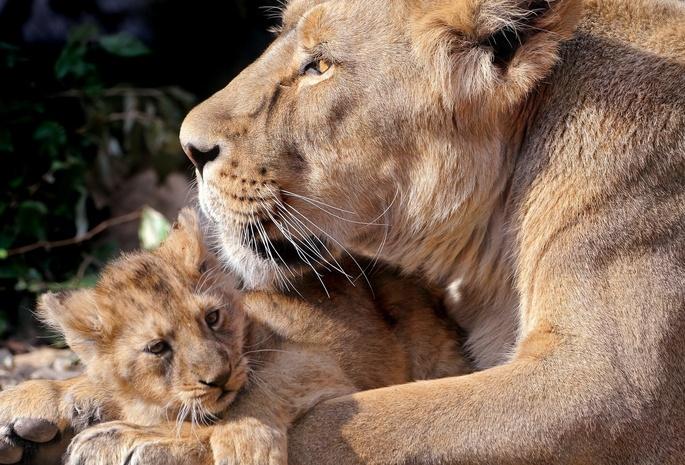 Львы большие кошки 3 семья 35