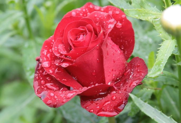 Роса цветок природа утро цветы роза