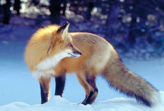 Обои лиса зима лисица для рабочего