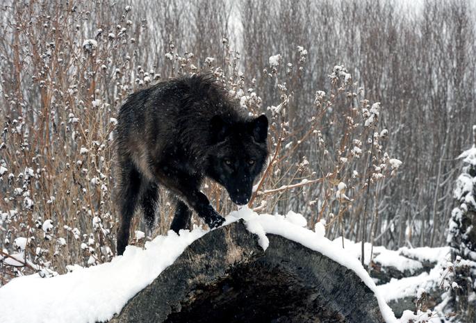Лес зима снег бревно волк взгляд