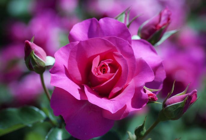 Макро цветок размытость роза