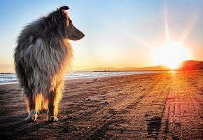 Собака, колли, берег, закат, солнце, песок