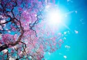 голубое, лепестки, небо, красота, солнце, цветение, розовые, дерево, Beautiful tree blossom, ослепительное