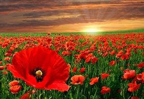 красный, цветы, пейзаж, природы, Небо, маки, закат
