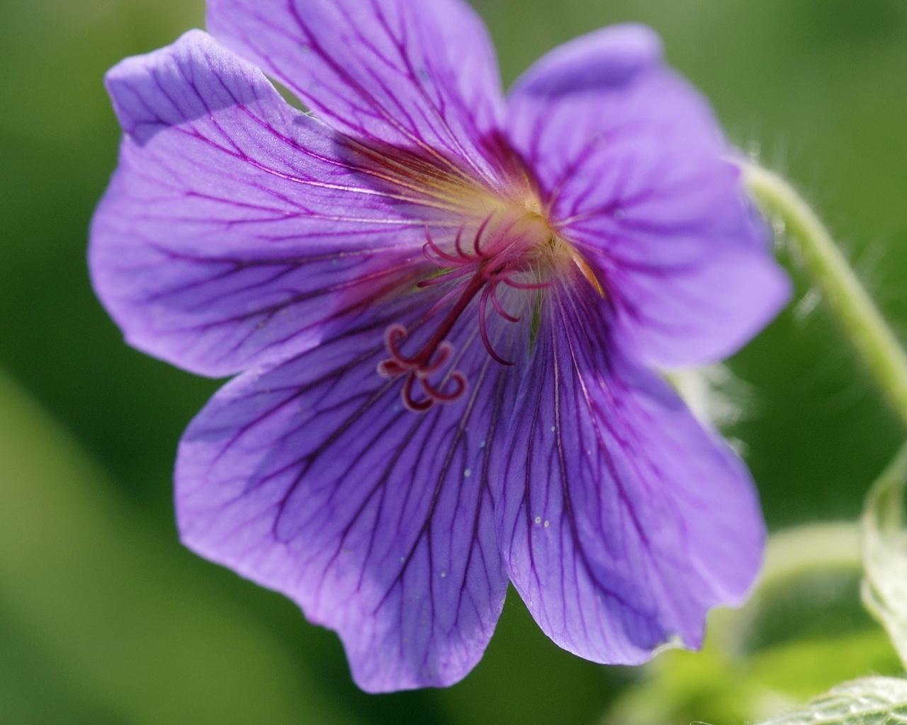 фиолетовые лепестки, пушистый стебель, закрученный пестик, цветы, макро