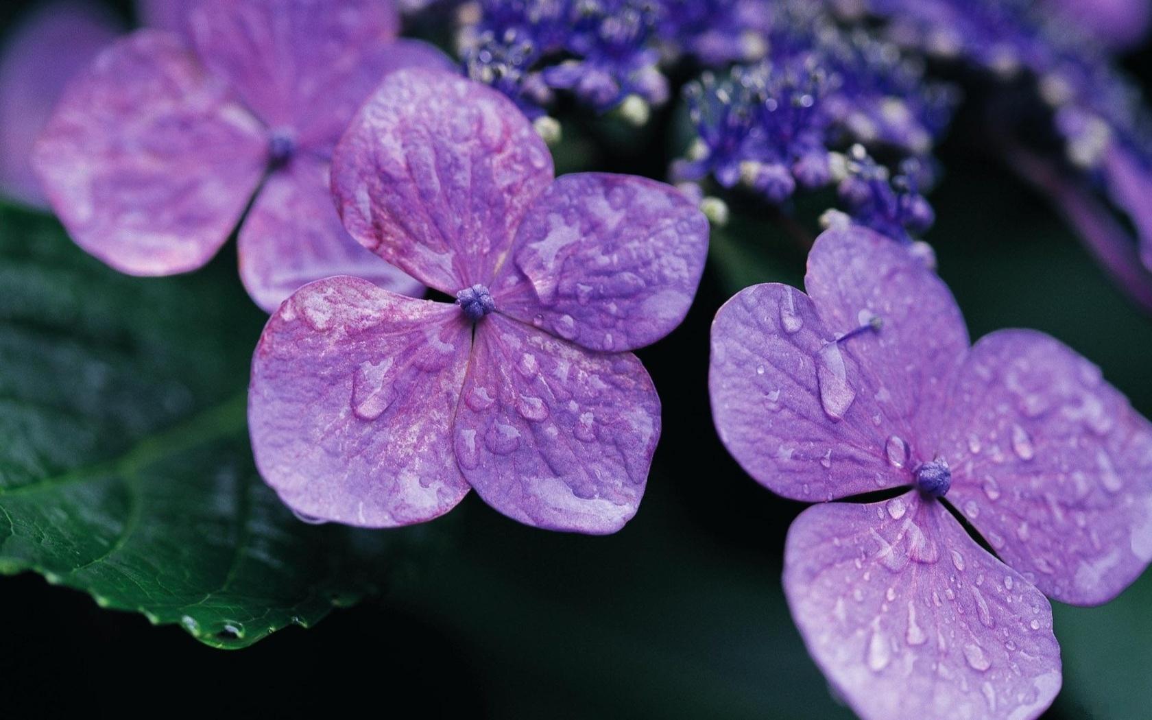 сиреневые крохи. четыре листика, капелька росы, цветы, макро