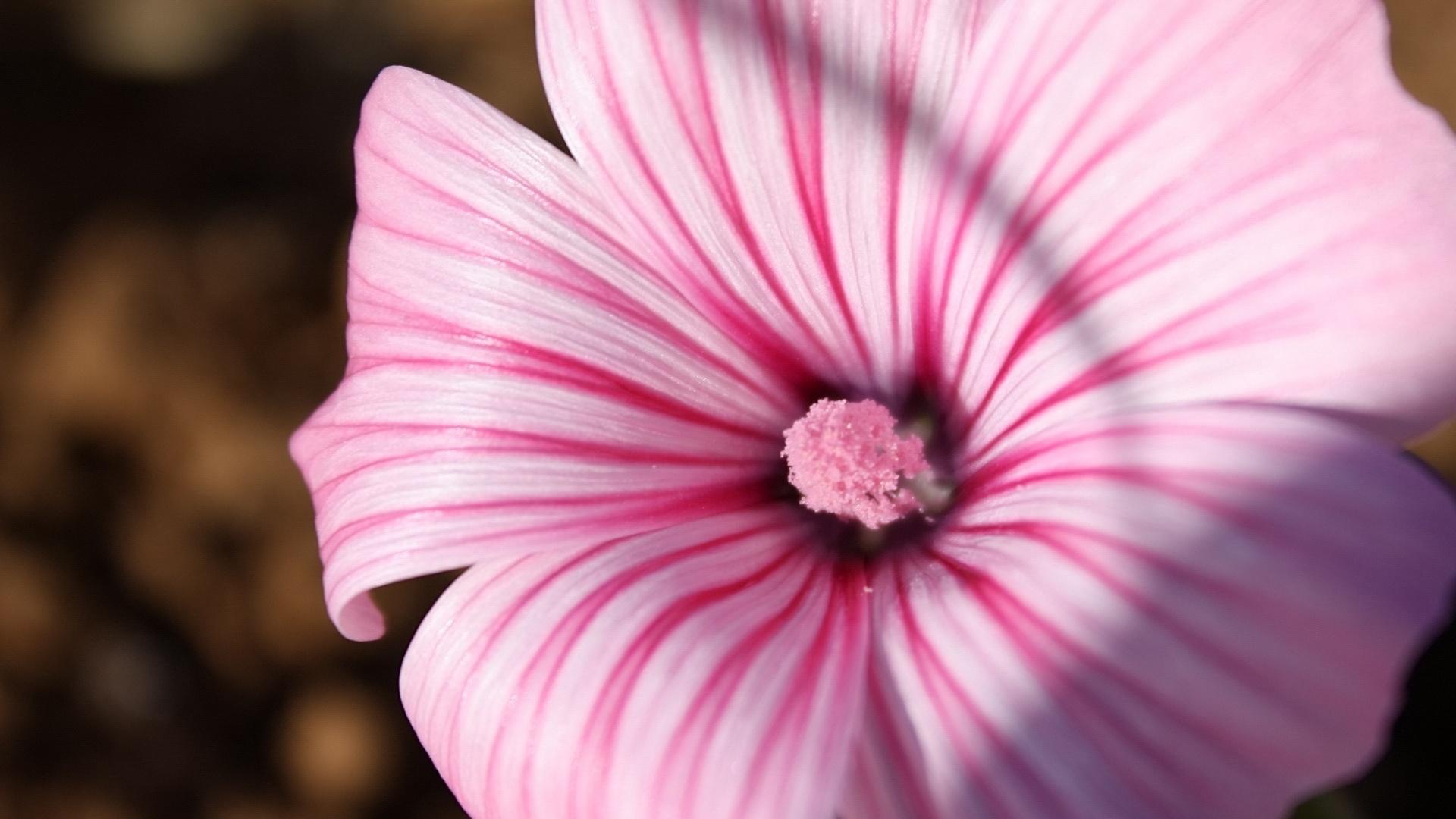очаровательный цветок, белые полосочки, разовый пестик, цветы, макро