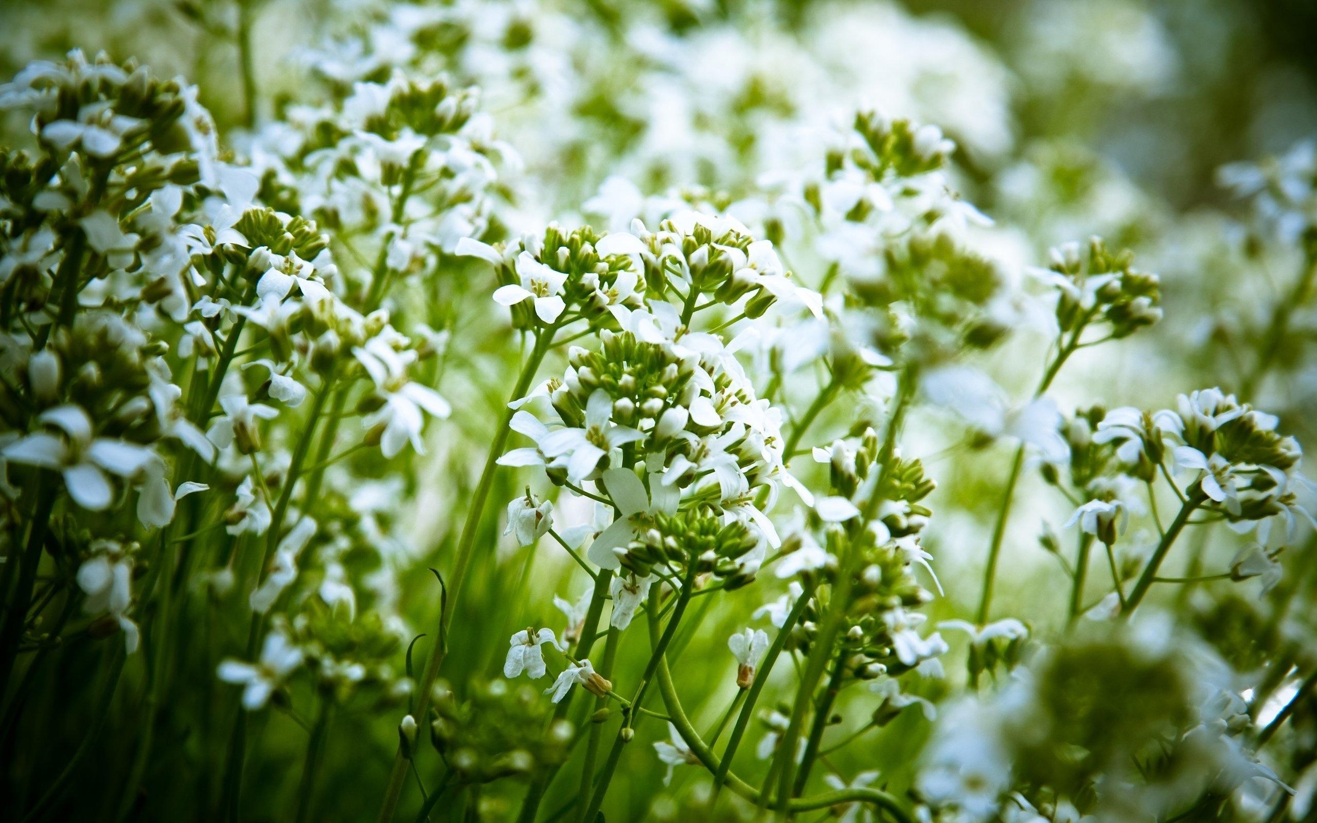 Название белых полевых цветов
