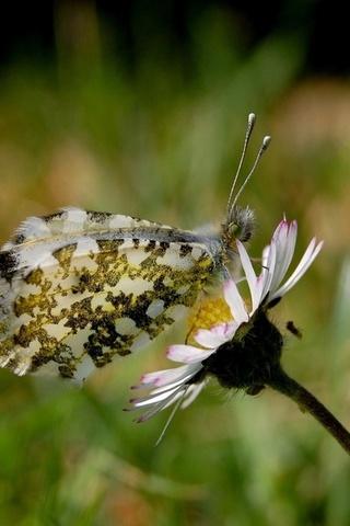 бабочка, красивые крылья, ромашка, природа, насекомые, животные