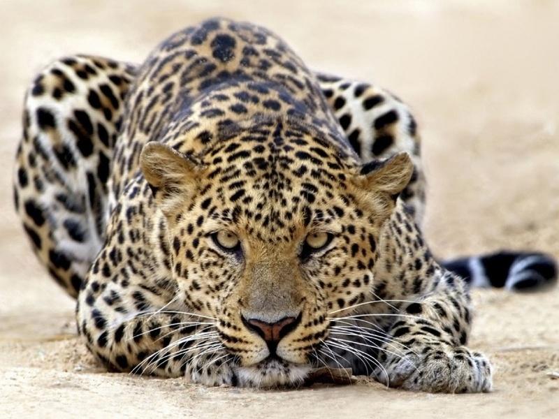 леопард, далекий взгляд, красавец, животные, хищники, тыгр, взгляд, кошачьи, глаза
