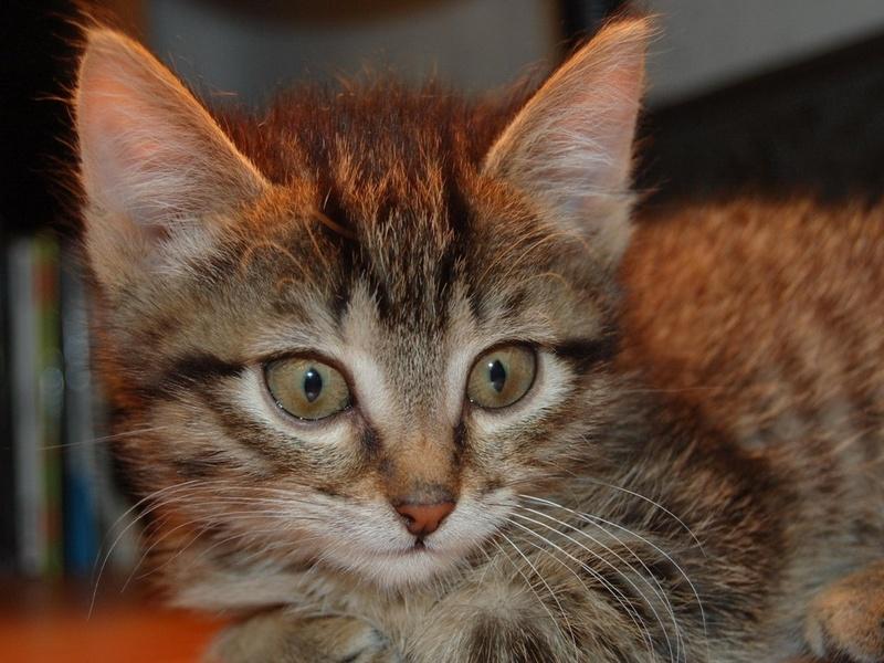 полосатый котик, усики, носик, животные, взгляд, котята, кошачьи, глаза
