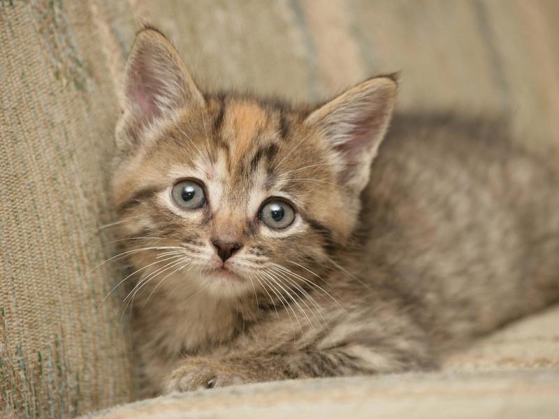 серенькая кроха, маленький котик, пристальный взгляд, животные, взгляд, взгляд, кошачьи, глаза