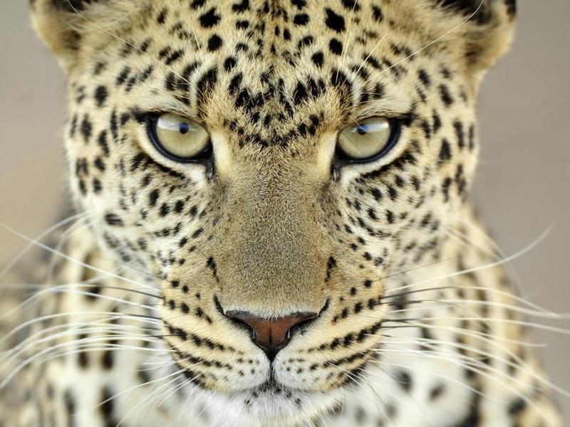 леопард, грозный взгляд, светлого окраса, животные, хищники, взгляд, кошачьи, глаза, макро