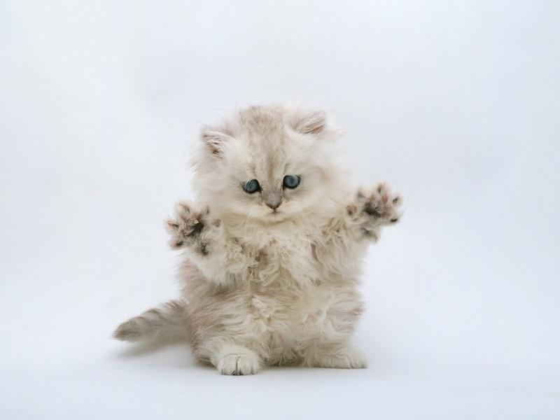 пушистый малыш, голубые глазки, котенок, животные, взгляд, белый фон, лапы, кошачьи, глаза