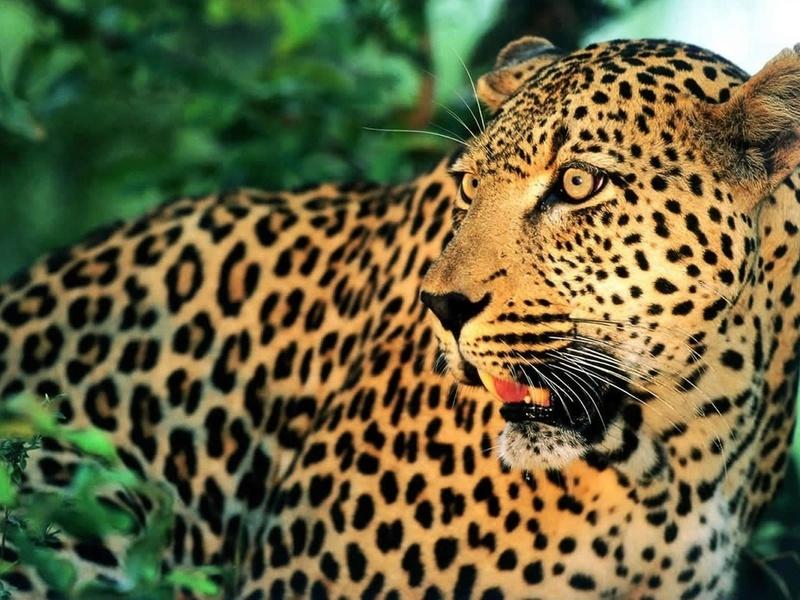 дикая природа, семейство кошачьих, усы, животные, хищники, взгляд, кошачьи, глаза