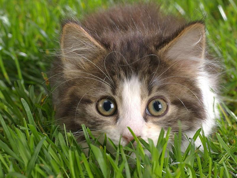 пушистый котенок, удивленные глаза, розовый носик, животные, взгляд, котята, кошачьи, глаза, макро