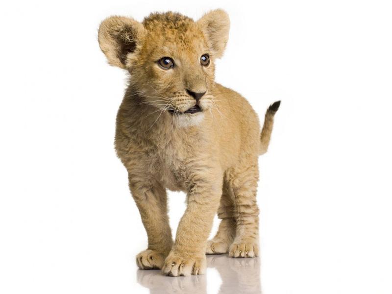 львенок, рыжий малыш, добрые глазки, животные, хищники, взгляд, кошачьи, глаза