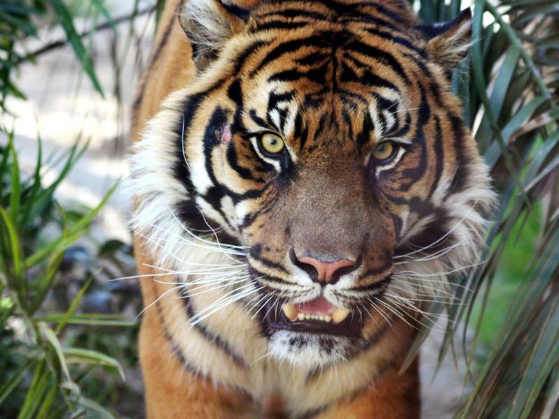тигр, дикая природа, рык, животные, хищники, взгляд, кошачьи, глаза