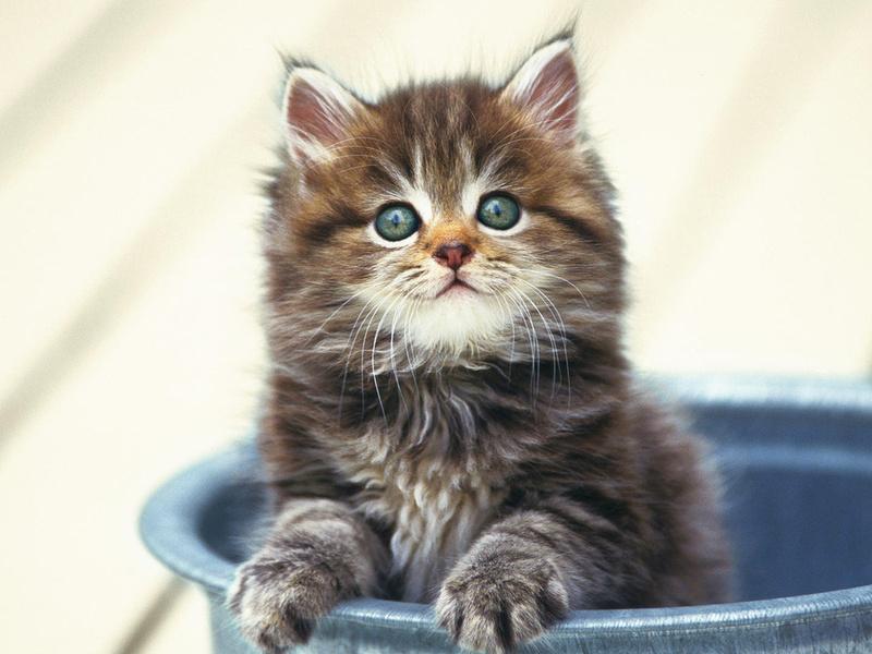 ведро, пушистик, котенок, животные, взгляд, кошачьи, глаза