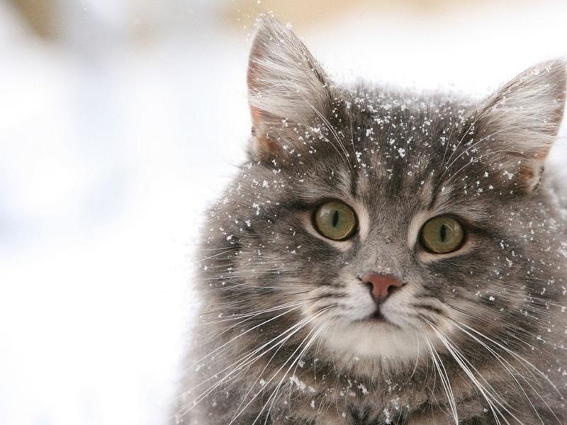 снежинки, серый, пушистый кот, животные, взгляд, кошки, кошачьи, глаза, макро