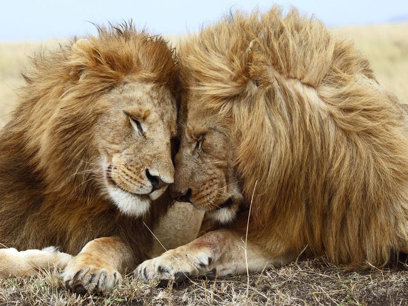 ветер, кошачьи, пушистые гривы, животные, хищники, дружба