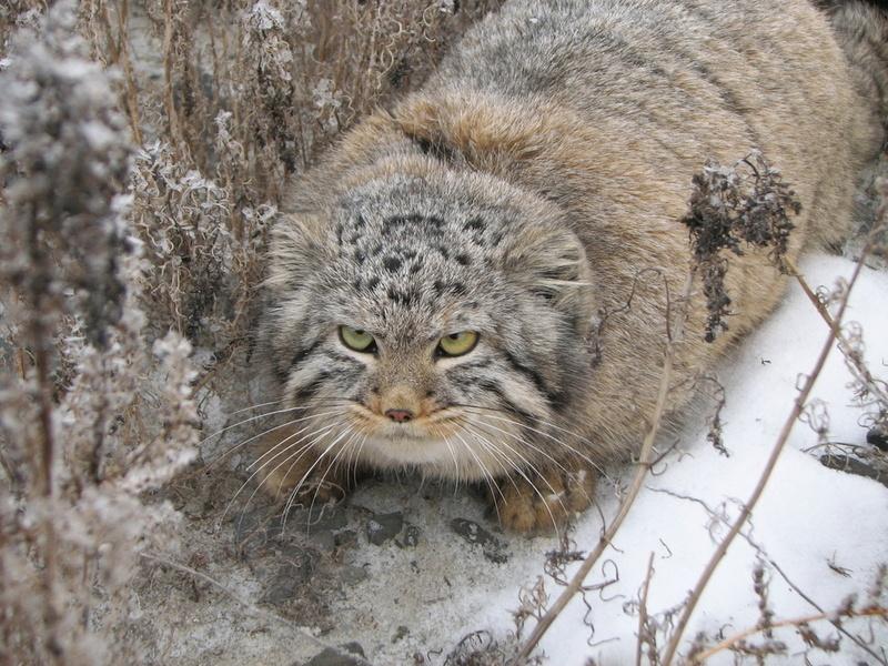 семейство кошачьих, теплая шуба, злой, животные, взгляд, глаза