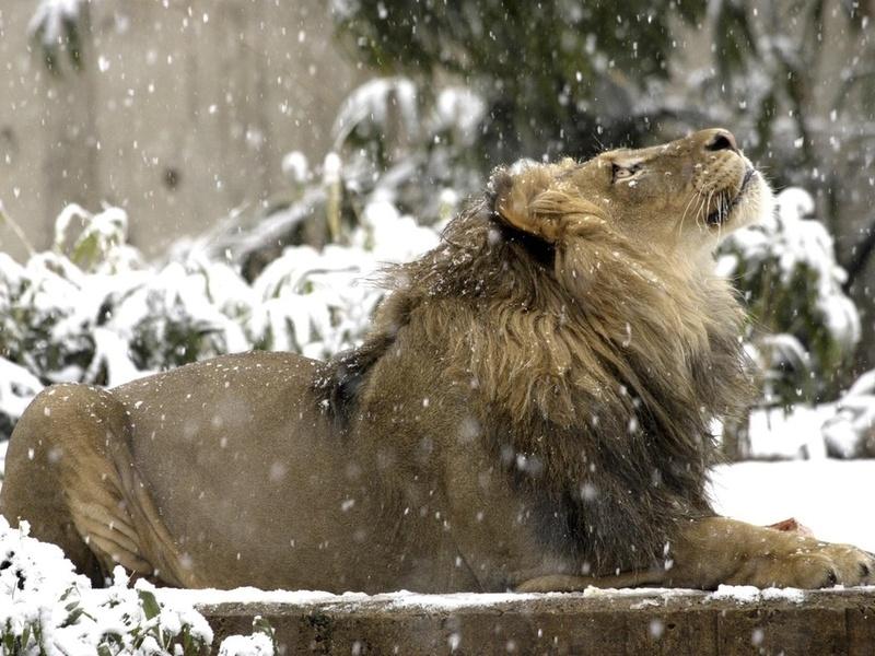 лев, король, снежинки с неба, животные, хищники, кошачьи, взгляд