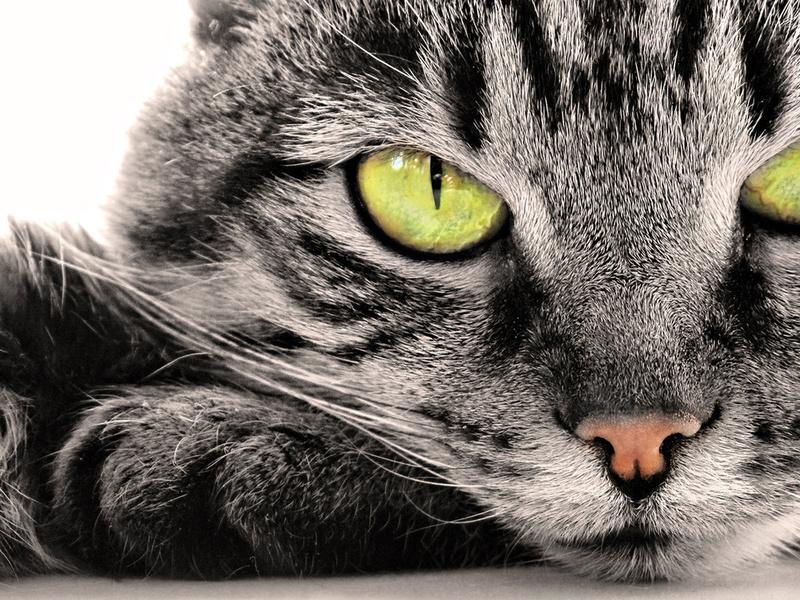 желтые глаза, серая шерсть, морда, животные, взгляд, кот, природа, белый фон, зеленые глаза, глаза, нос, усы, серость, кошачьи