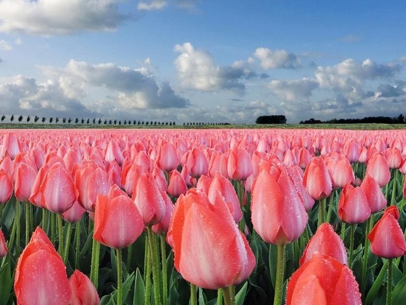 Тюльпаны розовые создания цветы