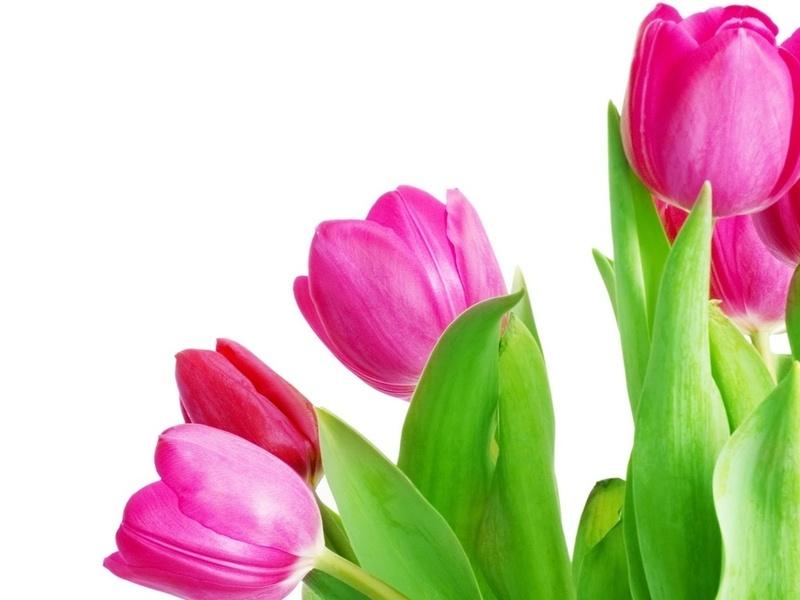 Обои яркие тюльпаны, розовый. яркие тюльпаны, розовый.