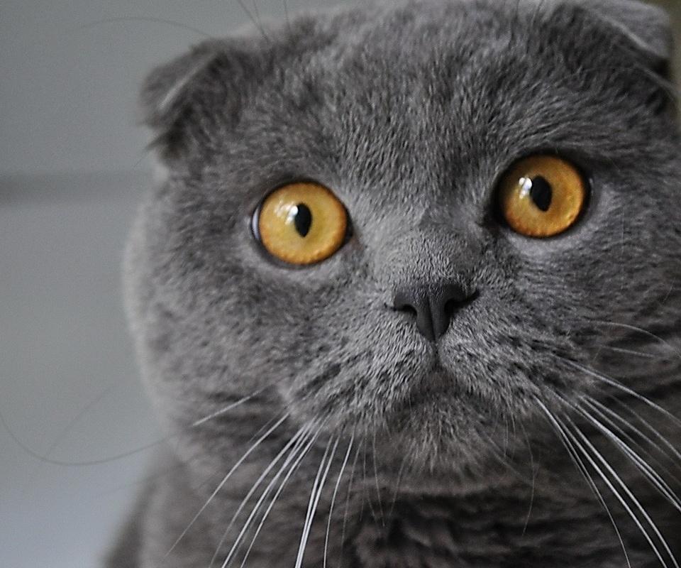 желтые глаза, серая шерсть, котик, животные, взгляд, серость, удивление, усы, уши, нос, котэ, кот, няшка, кошачьи, глаза